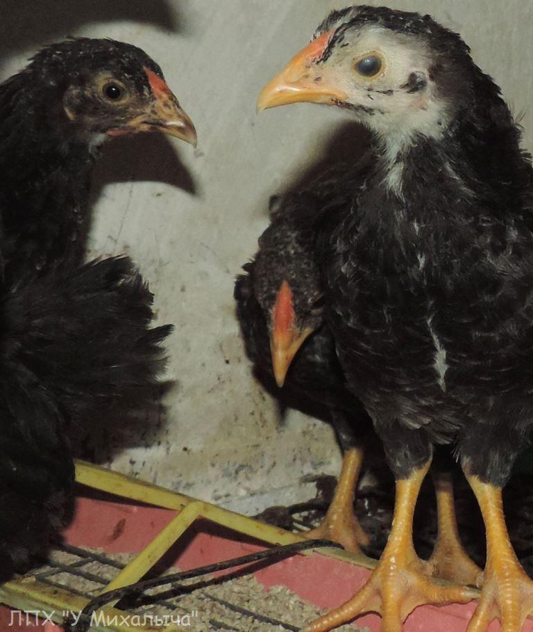 Карликовая дрезденская порода кур, Dresden bantam chickens KBKGn